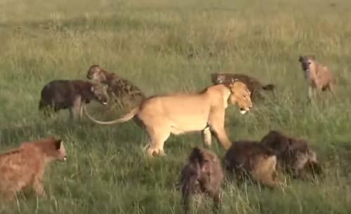 CLIP: Linh cẩu đại chiến với sư tử bảo vệ con non