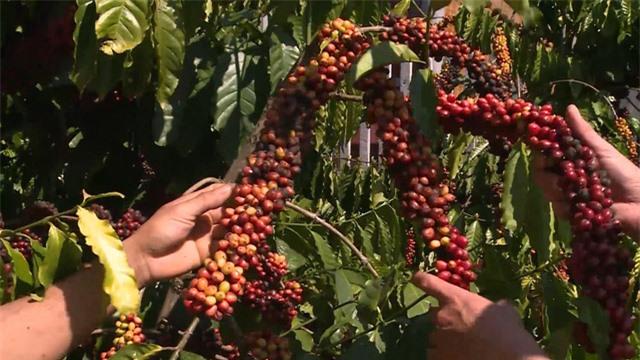 Giá cà phê có xu hướng tăng do lo ngại thiếu hụt nguồn cung - Ảnh 2.