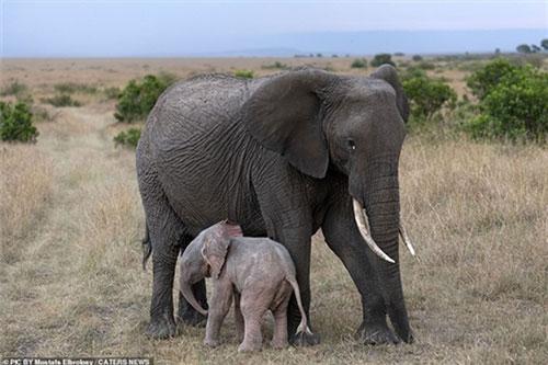Chú voi con màu hồng được phát hiện ở Mara, Kenya