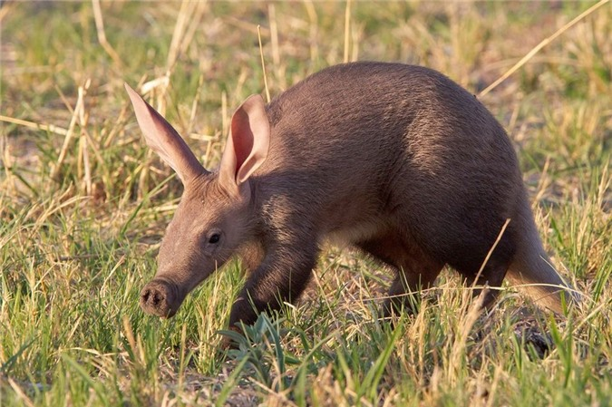"""quai vat"" lon di nhat hanh tinh: tai tho, mom lon, duoi kangaroo hinh anh 10"