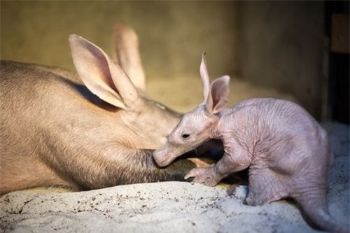 """quai vat"" lon di nhat hanh tinh: tai tho, mom lon, duoi kangaroo hinh anh 13"