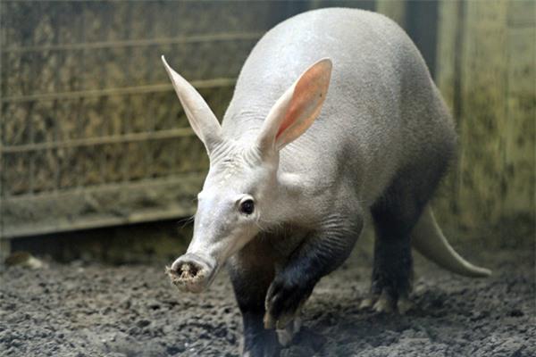 """quai vat"" lon di nhat hanh tinh: tai tho, mom lon, duoi kangaroo hinh anh 3"