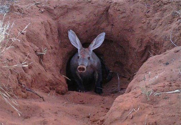 """quai vat"" lon di nhat hanh tinh: tai tho, mom lon, duoi kangaroo hinh anh 4"