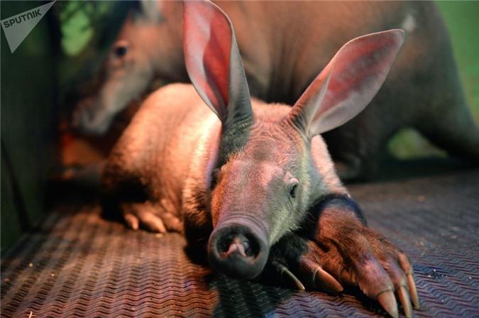 """quai vat"" lon di nhat hanh tinh: tai tho, mom lon, duoi kangaroo hinh anh 6"