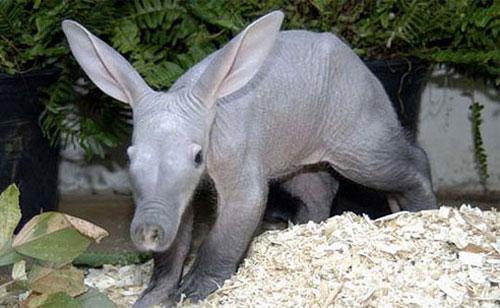 """""""Quái vật"""" lợn dị nhất hành tinh: Tai thỏ, mõm lợn, đuôi kangaroo"""