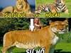 """Khám phá về những """"đứa con lai"""" kỳ lạ của hổ và sư tử"""
