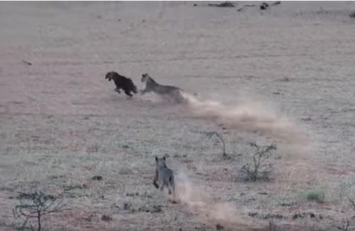 CLIP: Linh cẩu nâu lọt vào vòng vây đàn sư tử và cái kết