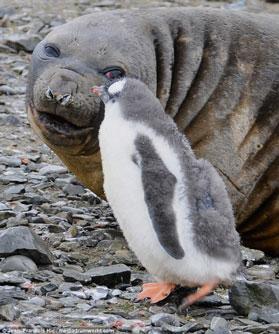 Ngộ nghĩnh tình bạn giữa hải tượng và chim cánh cụt