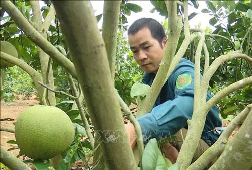 Người dân huyện Mai Sơn chăm sóc, cắt tỉa cành cho trái bưởi da xanh đạt chất lượng. Ảnh: Nguyễn Cường/TTXVN