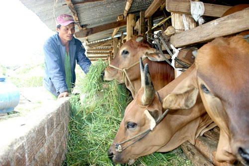 Đắk Lắk: Bí quyết nuôi bò vỗ béo