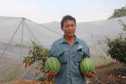 Ông Nguyễn Văn Sáu giới thiệu những trái dưa hấu trồng trong nhà lưới.