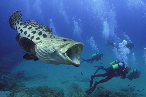 Rợn người thợ lặn chạm trán loài cá ăn thịt siêu lớn