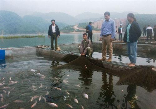 Mô hình nuôi cá diêu hồng trong lồng hiệu quả.