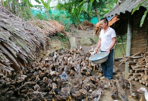 Vịt bầu Lâm Thượng ngon nổi tiếng bởi thịt chắc, dày thịt, ít mỡ, ngọt đậm.