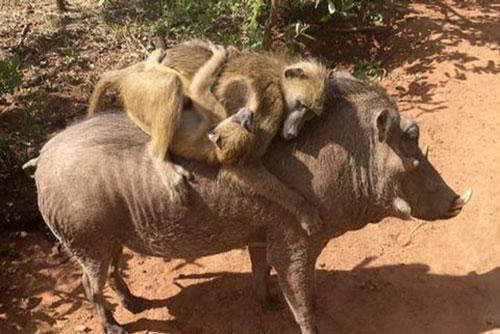 Tình bạn có một không hai của khỉ và lợn rừng