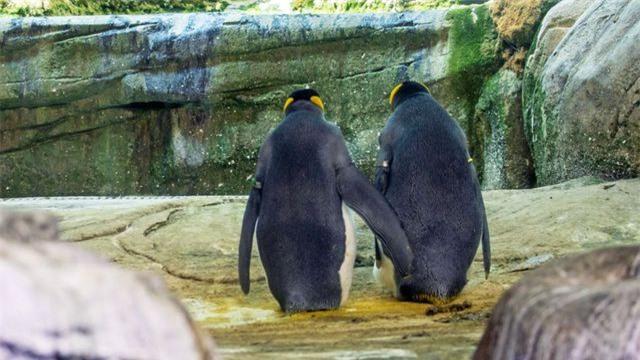 Bất ngờ với cặp đôi chim cánh cụt đồng tính... ấp trứng - 1