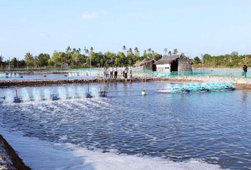 Cà Mau: Thế mạnh từ nuôi tôm sinh thái