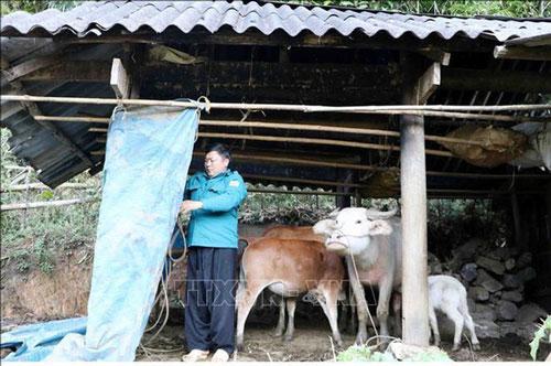 Quây bạt, sửa chữa, gia cố lại chuồng trại cho đàn trâu bò khỏi bị rét. Ảnh: TTXVN.