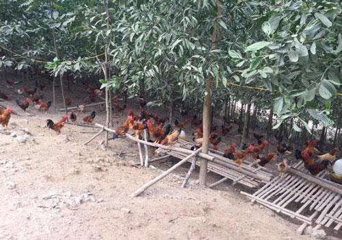 Gà đồi chăn thả tự nhiên, đảm bảo vệ sinh ATTP là món ăn được nhiều gia đình lựa chọn
