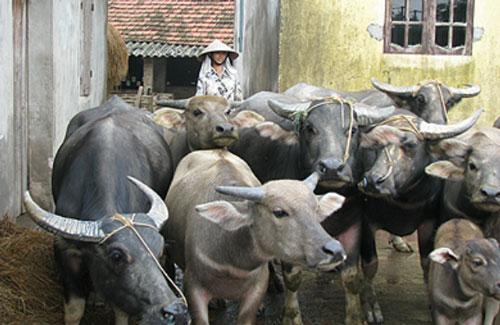 Tuyên Quang: Nhiều HTX, tổ hợp tác tham gia vào chuỗi liên kết chăn nuôi trâu