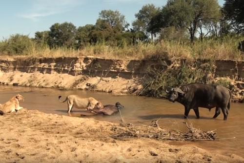 CLIP: Đàn trâu rừng bất lực nhìn sư tử ăn thịt đồng loại