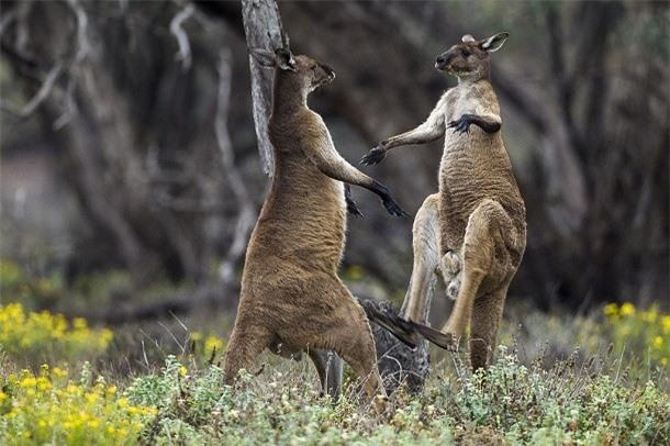 Kham pha gay soc ve kangaroo ai cung nen biet-Hinh-10