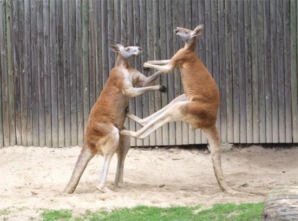 Kham pha gay soc ve kangaroo ai cung nen biet-Hinh-2