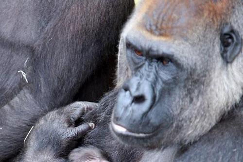 Xót xa con khỉ đột mất chồng sau 20 năm chung sống