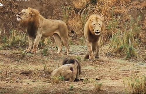 CLIP: Đàn sư tử nội chiến đẫm máu