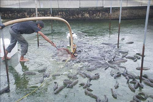 Quảng Trị: Nuôi cá lóc đầu nhím ở bể xi măng, thu hàng trăm triệu