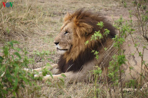 Du lịch Kenya Đi xem sư tử săn mồi