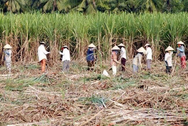 -Số đông nông dân và lao động ngành mía đường sẽ ra sao khi cam kết thực thi Atiga không còn được các bên tham gia tôn trọng.