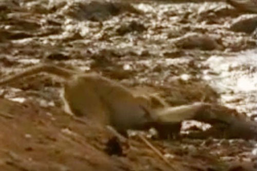 Khỉ bị cá sấu ngoạm đầu lôi xuống sông và kết cục kinh ngạc
