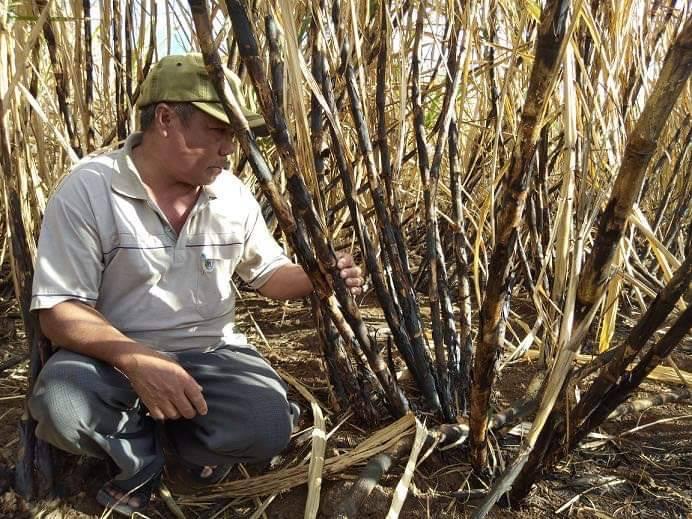 -: Lối thoát nào cho người nông dân vùng mía vùng kinh tế đặc biệt khó khăn.