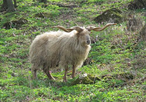 Giống cừu Racka có tên khoa học là Ovis aries strepsiceros hungaricus. Đây là một giống cừu nhà có nguồn gốc từ Hungary. Ảnh: wikipedia.