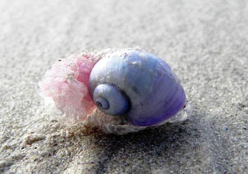 Ốc sên tím Janthina janthina là một loài ốc sên biển thuộc nhóm động vật chân bụng thân mềm. Chúng có một chiếc vỏ mang 2 màu đối lập tím thẫm ở gốc và tím nhạt ở phần chóp. Ảnh: thvl.