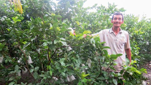 Ông Nguyễn Văn Huyện khoe vườn ổi nữ hoàng trồng xen với chanh bông tím cho thu nhập cao.