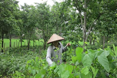 Trồng rau đặc sản dưới tán hồng, mỗi tháng thêm 3 triệu đồng bỏ túi