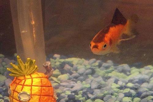 Bức ảnh cá vàng có khuôn mặt giốngtrùm phát xít Hitler trên mạng xã hội Reddit.