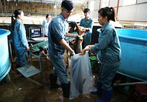 Lâm Đồng có khí hậu mát lạnh quanh năm, nguồn nước sạch sẽ nên người dân dễ phát triển nghề nuôi cá tầm, cá hồi.