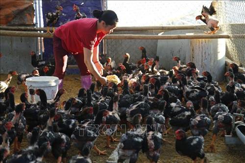 Tuyên Quang: Gà đỏ Đồng Dầy – Thương hiệu làm giàu của xã An Khang