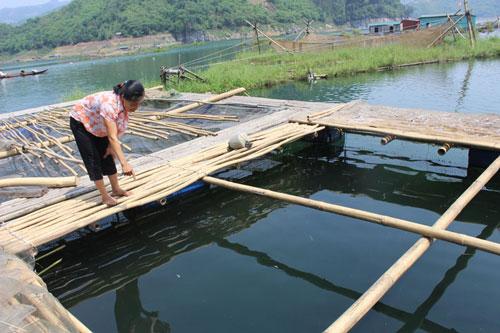 HTX dịch vụ sản xuất - kinh doanh nông, lâm nghiệp Hiền Lương (Đà Bắc) phát triển nghề nuôi cá lồng đem lại hiệu quả kinh tế cao.