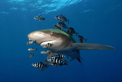 Hình ảnh động vật ấn tượng ghi cảnh cá mập vây trắng bơi cùng đàn cá nhỏ gần rạn san hô Daedalus, Ai Cập. (Nguồn Guardian)