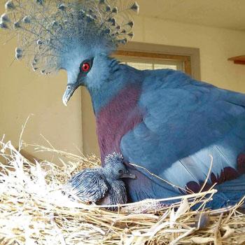 Bồ câu vương miện Victoria có bộ lông vũ màu xanh pha ánh tím, đôi mắt đỏ rực và chỏm lông với những điểm nhấn trắng hình cánh quạt. Ảnh: trithucvn.