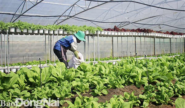 Mô hình trồng rau đạt chuẩn GlobalGAP trong nhà màng tại xã Xuân Trường (huyện Xuân Lộc). Ảnh: B.Nguyên