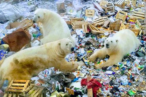 """Hơn 50 con gấu Bắc cực đã """"xâm chiếm"""" ngôi làng Ryrkaypiy phía Bắc nước Nga để tìm thức ăn (Ảnh: CNN)"""