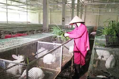 Nhờ liên kết, mô hình nuôi thỏ tại Nậm Cần đang cho hiệu quả cao