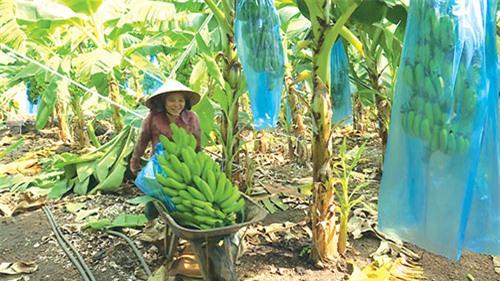 Mô hình trồng chuối cấy mô xuất khẩu của gia đình anh Vũ.