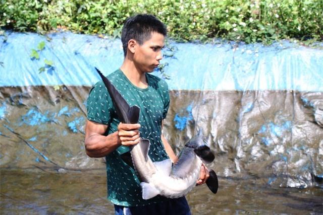 Sau hơn 2 năm được thả nuôi, lứa cá tầm đầu tiên đã đạt trọng lượng từ 10 - 12 kg mỗi con.