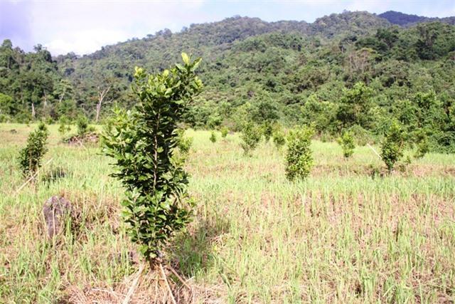 Sau 5 năm gieo trồng, dự tính cây mắc ca sẽ mang về nguồn thu nhập trên 100 triệu đồng/ha/năm.